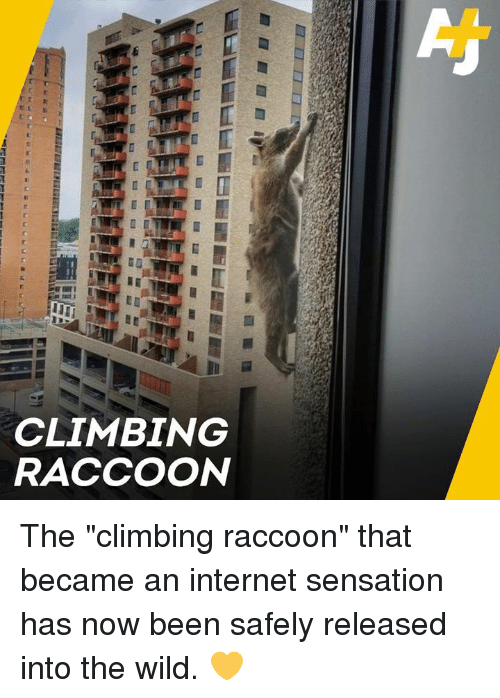 "Climbing, Internet, and Memes: CLIMBING  RACCOON The ""climbing raccoon"" that became an internet sensation has now been safely released into the wild. 💛"