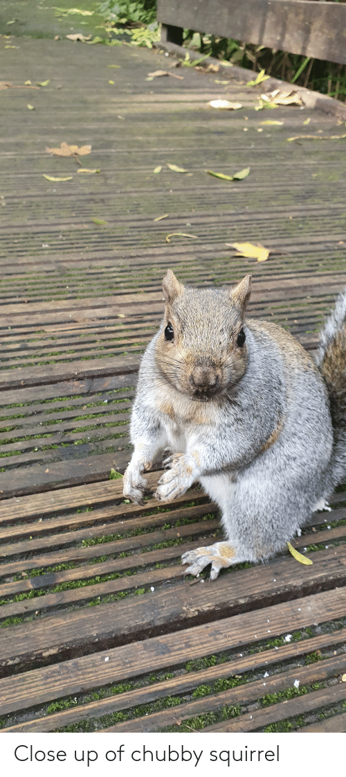 chubby: Close up of chubby squirrel