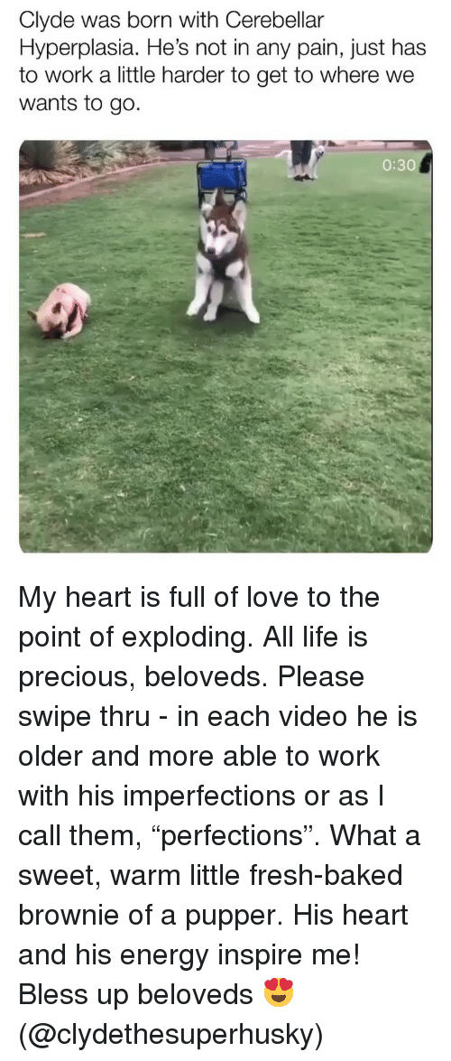 """Bless up: Clyde was born with Cerebellar  Hyperplasia. He's not in any pain, just has  to work a little harder to get to where we  wants to go.  0:30 My heart is full of love to the point of exploding. All life is precious, beloveds. Please swipe thru - in each video he is older and more able to work with his imperfections or as I call them, """"perfections"""". What a sweet, warm little fresh-baked brownie of a pupper. His heart and his energy inspire me! Bless up beloveds 😍 (@clydethesuperhusky)"""