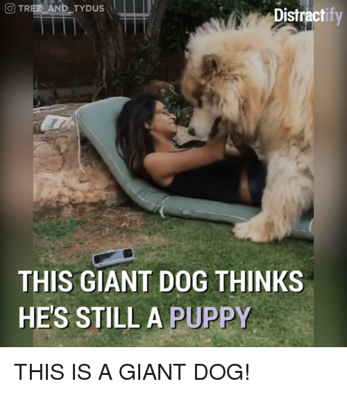 Dogs, Memes, and Giant: CO TR  AND TYDUS  Distract  THIS GIANT DOG THINKS  HE'S STILL A  PUPPY THIS IS A GIANT DOG!