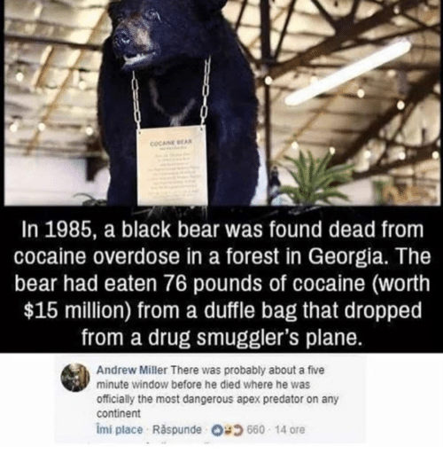 Apex, Bear, and Black: COCAINE BEA  In 1985, a black bear was found dead from  cocaine overdose in a forest in Georgia. The  bear had eaten 76 pounds of cocaine (worth  $15 million) from a duffle bag that dropped  from a drug smuggler's plane.  Andrew Miller There was probably about a five  minute window before he died where he was  officially the most dangerous apex predator on any  continent  imi place Raspunde O660 14 ore