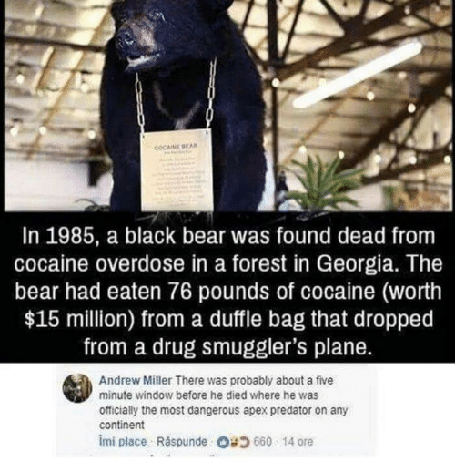 Apex: COCAINE BEAN  In 1985, a black bear was found dead from  cocaine overdose in a forest in Georgia. The  bear had eaten 76 pounds of cocaine (worth  $15 million) from a duffle bag that dropped  from a drug smuggler's plane.  Andrew Miller There was probably about a five  minute window before he died where he was  officially the most dangerous apex predator on any  continent  imi place Răspunde Og 660 . 14 ore