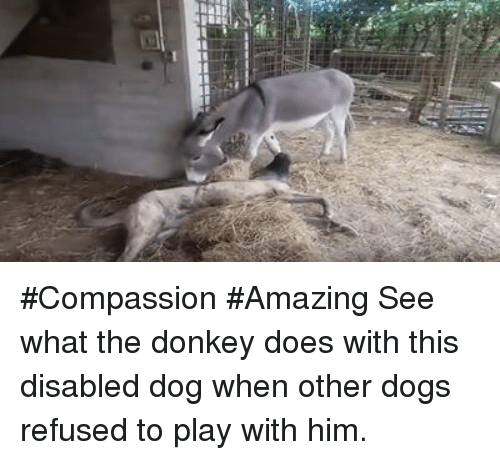 Donkey, Memes, and Compassion: #Compassion #Amazing See what the donkey does with this disabled dog when other dogs refused to play with him.