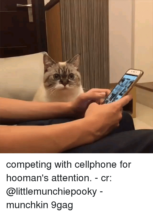 Hoomans: competing with cellphone for hooman's attention. - cr: @littlemunchiepooky - munchkin 9gag