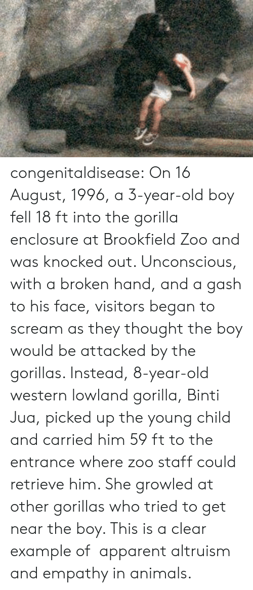 Scream: congenitaldisease: On 16 August, 1996, a 3-year-old boy fell 18 ft into the gorilla enclosure at Brookfield Zoo and was knocked out. Unconscious, with a broken hand, and a gash to his face, visitors began to scream as they thought the boy would be attacked by the gorillas. Instead, 8-year-old western lowland gorilla, Binti Jua, picked up the young child and carried him 59 ft to the entrance where zoo staff could retrieve him. She growled at other gorillas who tried to get near the boy. This is a clear example of   apparent altruism and empathy in animals.