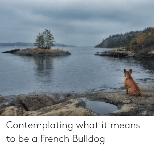 french bulldog: Contemplating what it means to be a French Bulldog
