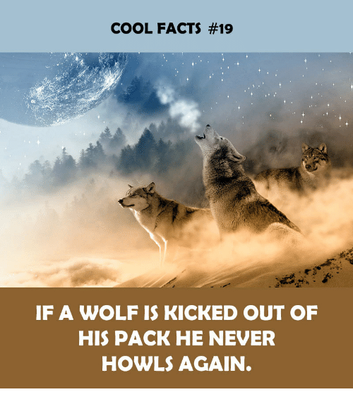 kicked out: COOL FACTS #19  IF A WOLF IS KICKED OUT OF  HIS PACK HE NEVER  HOWLS AGAIN.