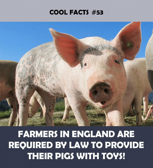 pigs: COOL FACTS #53  FARMERS IN ENGLAND ARE  REQUIRED BY LAW TO PROVIDE  THEIR PIGS WITH TOYS!