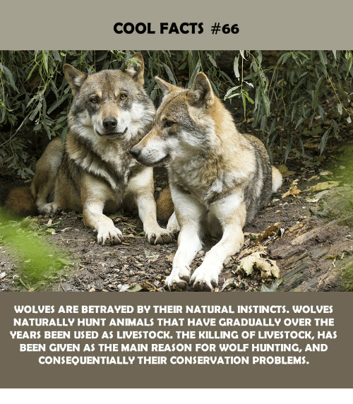 Instincts: COOL FACTS #66  WOLVES ARE BETRAYED BY THEIR NATURAL INSTINCTS. WOLVES  NATURALLY HUNT ANIMALS THAT HAVE GRADUALLY OVER THE  YEARS BEEN USED AS LIVESTOCK. THE KILLING OF LIVESTOCK, HAS  BEEN GIVEN AS THE MAIN REASON FOR WOLF HUNTING, AND  CONSEQUENTIALLY THEIR CONSERVATION PROBLEMS.