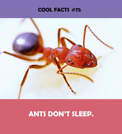 Ants: COOL FACTS #75  ANTS DON'T SLEEP.