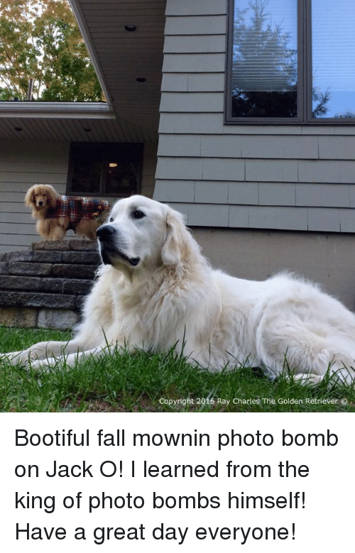 Fall: Copyright 2016 Ray Charles The Golden Retriever Bootiful fall mownin photo bomb on Jack O! I learned from the king of photo bombs himself! Have a great day everyone!