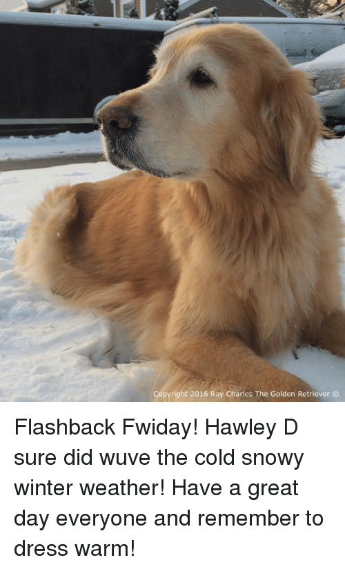 Memes, Winter, and Dress: Copyright 2016 Ray Charles The Golden Retriever Flashback Fwiday! Hawley D sure did wuve the cold snowy winter weather! Have a great day everyone and remember to dress warm!