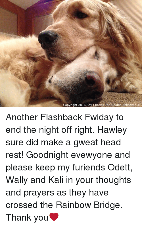 Memes, Cross, and Golden Retriever: Copyright 2016 Ray Charles The Golden Retriever O Another Flashback Fwiday to end the night off right. Hawley sure did make a gweat head rest! Goodnight evewyone and please keep my furiends Odett, Wally and Kali in your thoughts and prayers as they have crossed the Rainbow Bridge. Thank you❤️