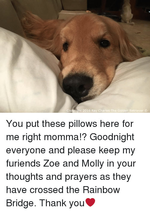 Zoe: Copyright 2016 Ray Charles The Golden Retriever You put these pillows here for me right momma!? Goodnight everyone and please keep my furiends Zoe and Molly in your thoughts and prayers as they have crossed the Rainbow Bridge. Thank you❤️