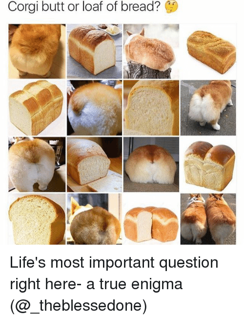 Girl Memes: Corgi butt or loaf of bread? Life's most important question right here- a true enigma (@_theblessedone)