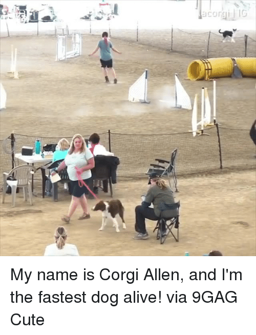 9gag, Alive, and Corgi: corgi IG  lit My name is Corgi Allen, and I'm the fastest dog alive!  via 9GAG Cute