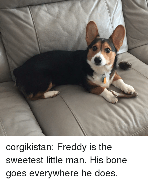 freddy: corgikistan:  Freddy is the sweetest little man. His bone goes everywhere he does.
