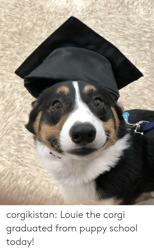 Louie: corgikistan:  Louie the corgi graduated from puppy school today!