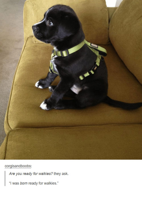 """dank: corgisandboobs:  Are you ready for walkies? they ask.  """"I was born ready for walkies."""""""