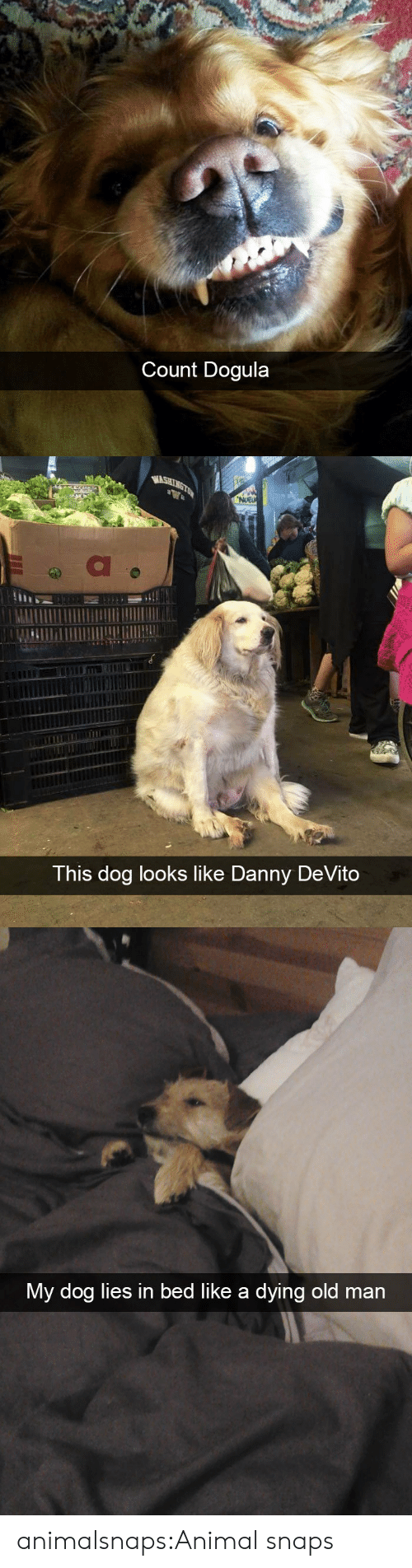 In Bed Like: Count Dogula   WASHINGTON  NUEU  This dog looks like Danny DeVito   My dog lies in bed like a dying old man animalsnaps:Animal snaps