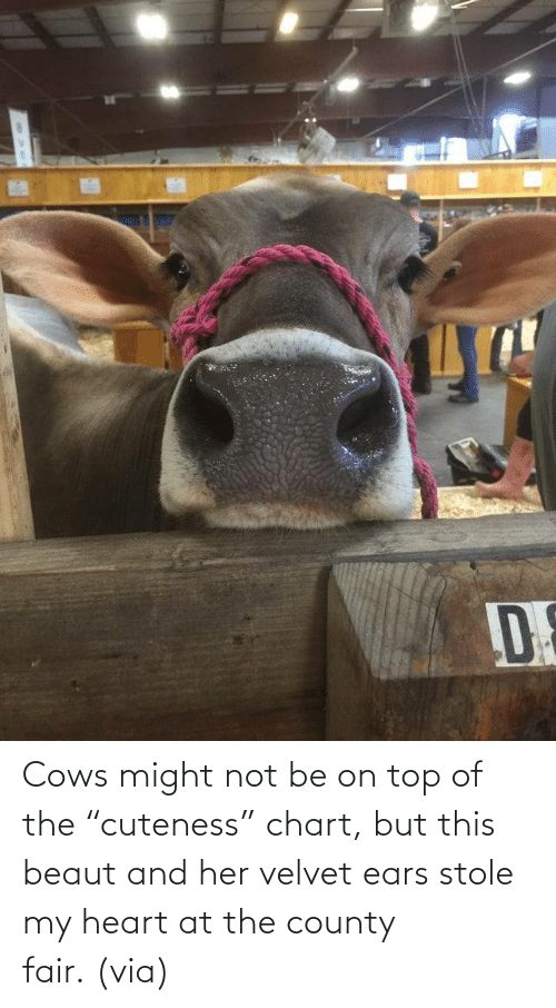 "might: Cows might not be on top of the ""cuteness"" chart, but this beaut and her velvet ears stole my heart at the county fair. (via)"