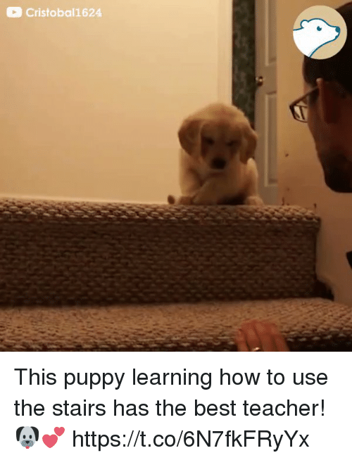 Best Teacher: Cristobal1624 This puppy learning how to use the stairs has the best teacher! 🐶💕  https://t.co/6N7fkFRyYx