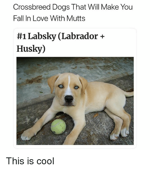 Dogs, Fall, and Funny: Crossbreed Dogs That Will Make You  Fall In Love With Mutts  #1 Labsky (Labrador +  Husky) This is cool