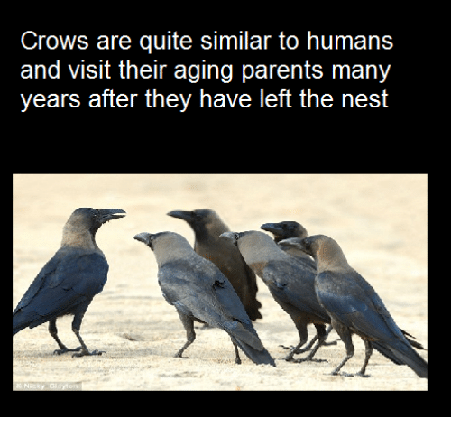 Memes, Nest, and Quite: Crows are quite similar to humans  and Visit their aging parents many  years after they have left the nest