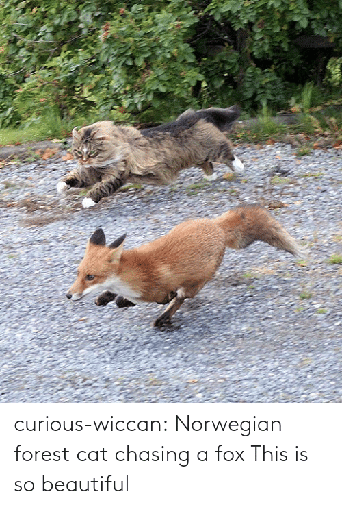 norwegian forest cat: curious-wiccan:  Norwegian forest cat chasing a fox  This is so beautiful