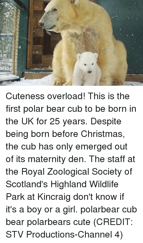 its a boy: Cuteness overload! This is the first polar bear cub to be born in the UK for 25 years. Despite being born before Christmas, the cub has only emerged out of its maternity den. The staff at the Royal Zoological Society of Scotland's Highland Wildlife Park at Kincraig don't know if it's a boy or a girl. polarbear cub bear polarbears cute (CREDIT: STV Productions-Channel 4)