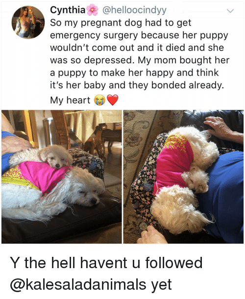 Memes, Pregnant, and Happy: Cynthia@helloocindyy  So my pregnant dog had to get  emergency surgery because her puppy  wouldn't come out and it died and she  was so depressed. My mom bought her  a puppy to make her happy and think  it's her baby and they bonded already.  My heart Y the hell havent u followed @kalesaladanimals yet