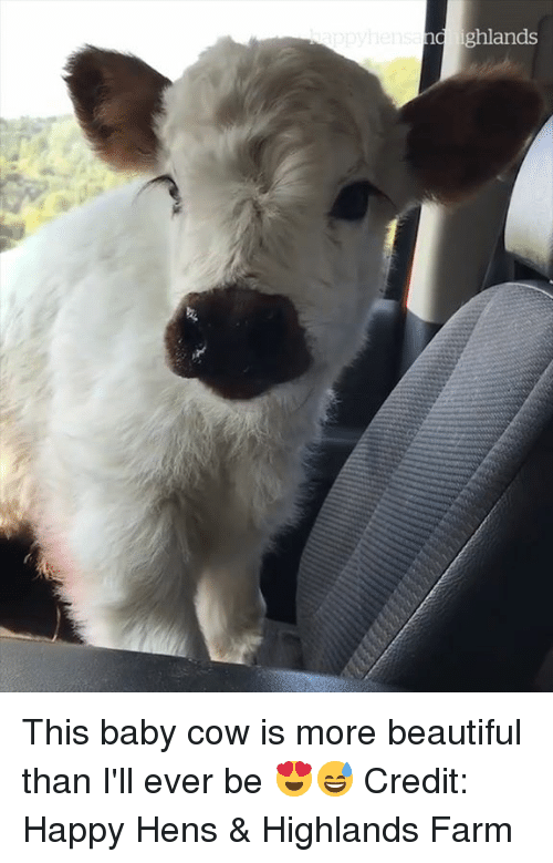 Baby Cow: d ighlands This baby cow is more beautiful than I'll ever be 😍😅  Credit: Happy Hens & Highlands Farm