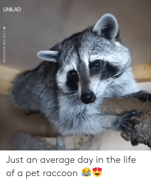 Life Of A: D TITO THE RACCOON Just an average day in the life of a pet raccoon 😂😍