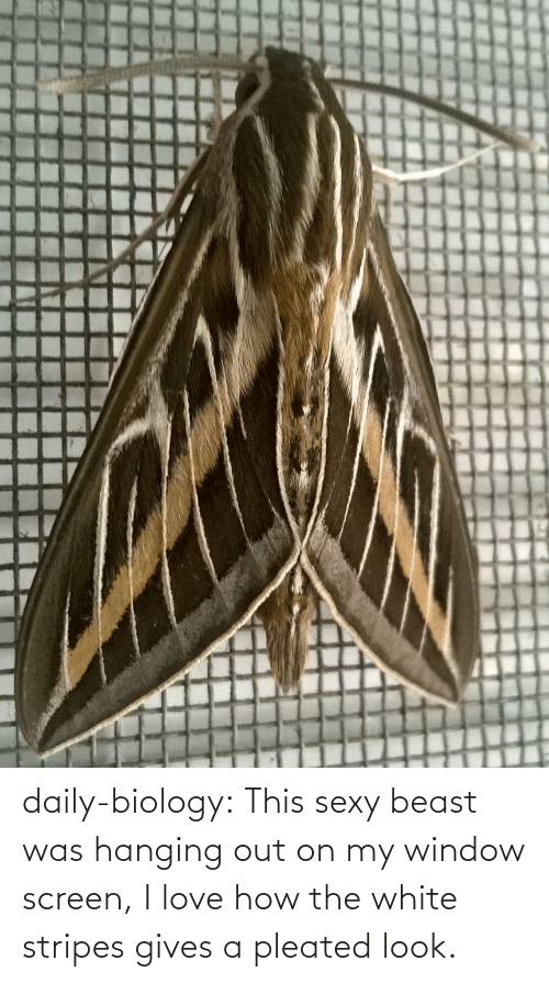 white stripes: daily-biology:  This sexy beast was hanging out on my window screen, I love how the white stripes gives a pleated look.