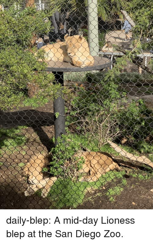 Blep: daily-blep:  A mid-day Lioness blep at the San Diego Zoo.