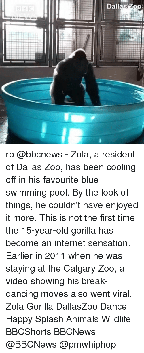 Animals, Dancing, and Internet: Dallas rp @bbcnews - Zola, a resident of Dallas Zoo, has been cooling off in his favourite blue swimming pool. By the look of things, he couldn't have enjoyed it more. This is not the first time the 15-year-old gorilla has become an internet sensation. Earlier in 2011 when he was staying at the Calgary Zoo, a video showing his break-dancing moves also went viral. Zola Gorilla DallasZoo Dance Happy Splash Animals Wildlife BBCShorts BBCNews @BBCNews @pmwhiphop