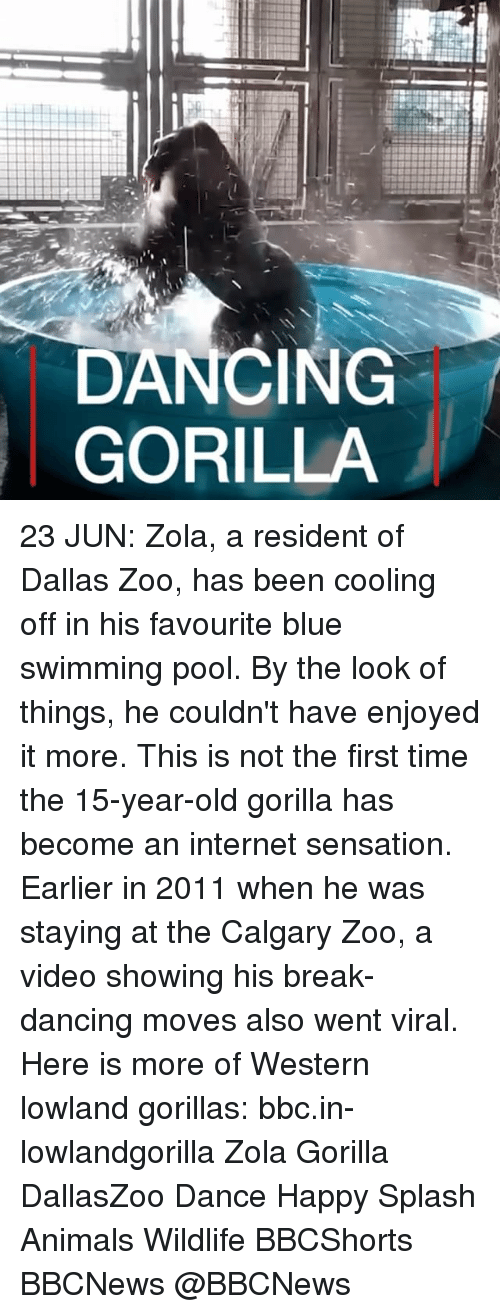 Zola: DANCING  GORILLA 23 JUN: Zola, a resident of Dallas Zoo, has been cooling off in his favourite blue swimming pool. By the look of things, he couldn't have enjoyed it more. This is not the first time the 15-year-old gorilla has become an internet sensation. Earlier in 2011 when he was staying at the Calgary Zoo, a video showing his break-dancing moves also went viral. Here is more of Western lowland gorillas: bbc.in-lowlandgorilla Zola Gorilla DallasZoo Dance Happy Splash Animals Wildlife BBCShorts BBCNews @BBCNews