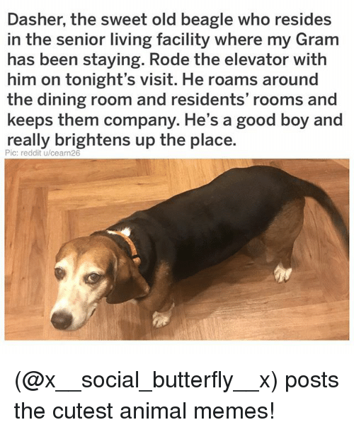 Memes, Reddit, and Animal: Dasher, the sweet old beagle who resides  in the senior living facility where my Gram  has been staying. Rode the elevator with  him on tonight's visit. He roams around  the dining room and residents' rooms and  keeps them company. He's a good boy and  really brightens up the place.  Pic: reddit u/cearn26 (@x__social_butterfly__x) posts the cutest animal memes!