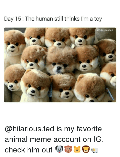 Hilariousness: Day 15 The human still thinks I'm a toy  @hilarious ted @hilarious.ted is my favorite animal meme account on IG. check him out 🐶🐵🐱🦁🐏