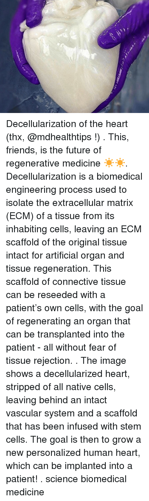 Friends, Future, and Memes: Decellularization of the heart (thx, @mdhealthtips !) . This, friends, is the future of regenerative medicine ☀️☀️. Decellularization is a biomedical engineering process used to isolate the extracellular matrix (ECM) of a tissue from its inhabiting cells, leaving an ECM scaffold of the original tissue intact for artificial organ and tissue regeneration. This scaffold of connective tissue can be reseeded with a patient's own cells, with the goal of regenerating an organ that can be transplanted into the patient - all without fear of tissue rejection. . The image shows a decellularized heart, stripped of all native cells, leaving behind an intact vascular system and a scaffold that has been infused with stem cells. The goal is then to grow a new personalized human heart, which can be implanted into a patient! . science biomedical medicine