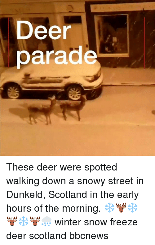 Deer, Memes, and Winter: Deer  parade These deer were spotted walking down a snowy street in Dunkeld, Scotland in the early hours of the morning. ❄️🦌❄️🦌❄️🦌🌨 winter snow freeze deer scotland bbcnews