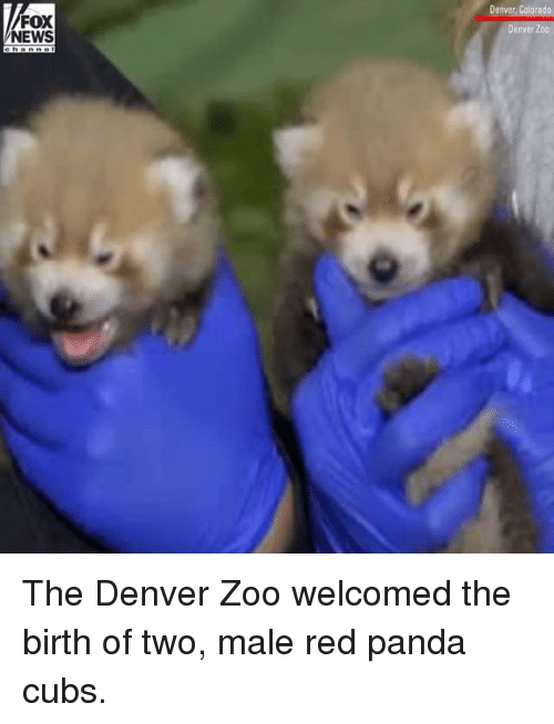 Memes, News, and Panda: Denver, Colorado  FOX  NEWS  Denver Zoo The Denver Zoo welcomed the birth of two, male red panda cubs.