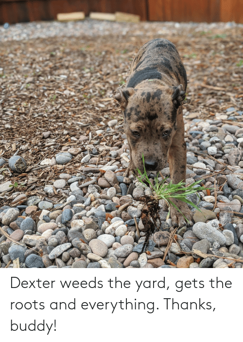 Thanks Buddy: Dexter weeds the yard, gets the roots and everything. Thanks, buddy!