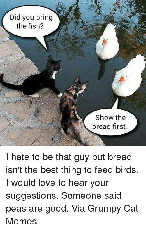 Grumpy Cats: Did you bring  the fish?  Show the  bread first. I hate to be that guy but bread isn't the best thing to feed birds. I would love to hear your suggestions. Someone said peas are good. Via Grumpy Cat Memes