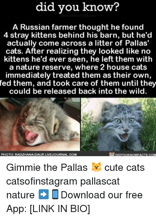 Memes, 🤖, and Links: did you know?  A Russian farmer thought he found  4 stray kittens behind his barn, but he'd  actually come across a litter of Pallas'  cats. After realizing they looked like no  kittens he'd ever seen, he left them with  a nature reserve, where 2 house cats  immediately treated them as their own,  fed them, and took care of them until they  could be released back into the wild.  PHOTO: RADZHANA DAUR LIVEJOURNAL COM Gimmie the Pallas 🐱 cute cats catsofinstagram pallascat nature ➡📱Download our free App: [LINK IN BIO]