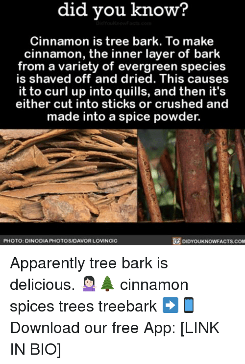 Memes, Apps, and Free: did you know?  Cinnamon is tree bark. To make  cinnamon, the inner layer of bark  from a variety of evergreen species  is shaved off and dried. This causes  it to up into and then it's  either cut into sticks or crushed and  made into a spice powder.  DIDYouKNowFACTs.coM  PHOTO: DINODIA PHOTOSMDAVOR LOVINCIC Apparently tree bark is delicious. 🤷🏻‍♀️🌲 cinnamon spices trees treebark ➡📱Download our free App: [LINK IN BIO]