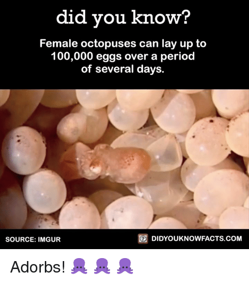 Lay Up: did you know?  Female octopuses can lay up to  100,000 eggs over a period  of several days.  DIDYOUKNOWFACTS.COM  SOURCE: IMGUR Adorbs! 🐙 🐙 🐙