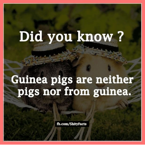 fb.com: Did you know?  Guinea pigs are neither  pigs nor from guinea.  fb.com/Shity Facts