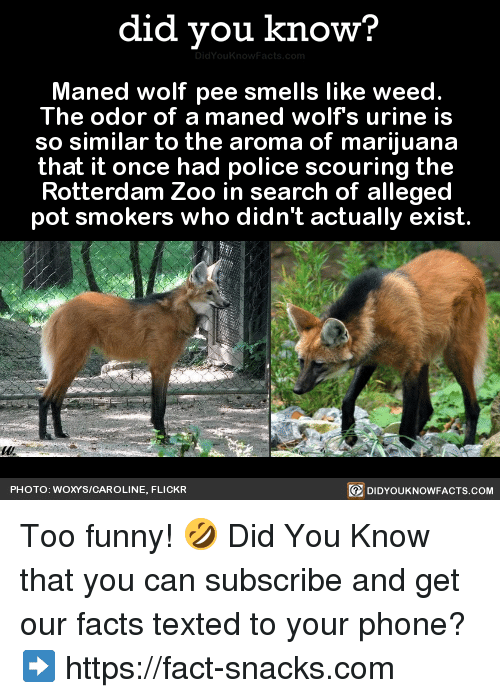 Urin: did you know?  Maned wolf pee smells like weed.  The odor of a maned wolfs urine is  so similar to the aroma of marijuana  that it once had police scouring the  Rotterdam Zoo in search of alleged  pot smokers who didn't actually exist  PHOTO: WOXYS/CAROLINE, FLICKR  DIDYOUKNOWFACTS.COM Too funny! 🤣  Did You Know that you can subscribe and get our facts texted to your phone? ➡ https://fact-snacks.com