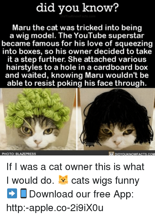 Apple, Cats, and Funny: did you know?  Maru the cat was tricked into being  a wig model. The YouTube superstar  became famous for his love of squeezing  into boxes, so his owner decided to take  it a step further. She attached various  hairstyles to a hole in a cardboard box  and waited, knowing Maru wouldn't be  able to resist poking his face through  PHOTO: B  LAZEPRESS If I was a cat owner this is what I would do. 🐱 cats wigs funny ➡📱Download our free App: http:-apple.co-2i9iX0u